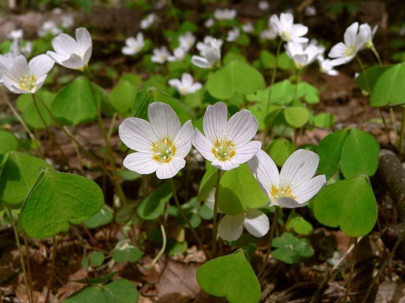 Цветок заячья капуста как выглядит фото растения кислица