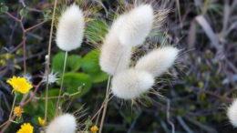 Цветок зайцехвост посадка и уход в открытом грунте