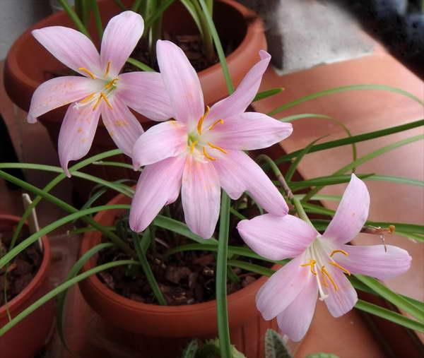 Цветок зефирантес уход в домашних условиях фото