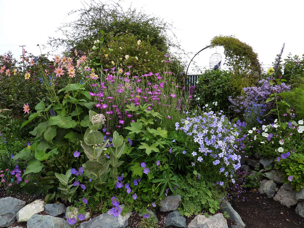 Цветы агростемма в ландшафтном дизайне фото