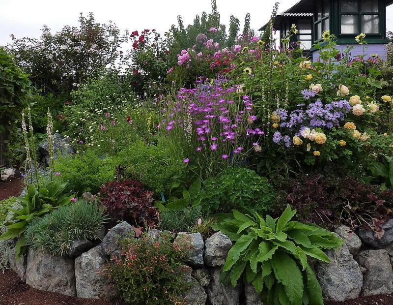 Цветы агростемма в ландшафтном дизайне