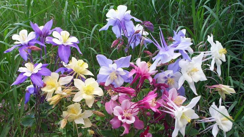 Цветы аквилегия или водосбор в ландшафтном дизайне фото