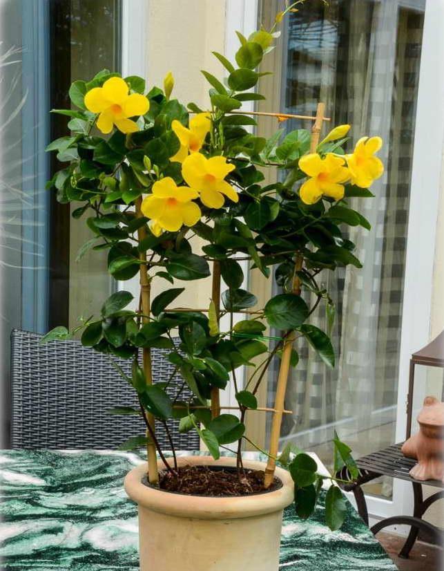 Цветы алламанда как комнатное растение выращивание и уход