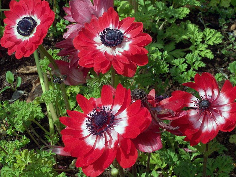 Цветы анемоны фото посадка