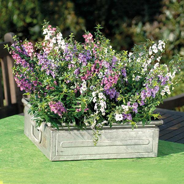 Цветы ангелония узколистная Angelonia Serena Mixed фото
