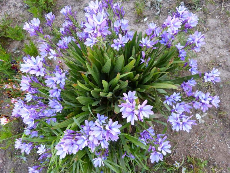 Цветы бабиана прямая babiana stricta фото