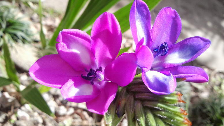 Цветы бабиана стрикта babiana stricta посадка и уход