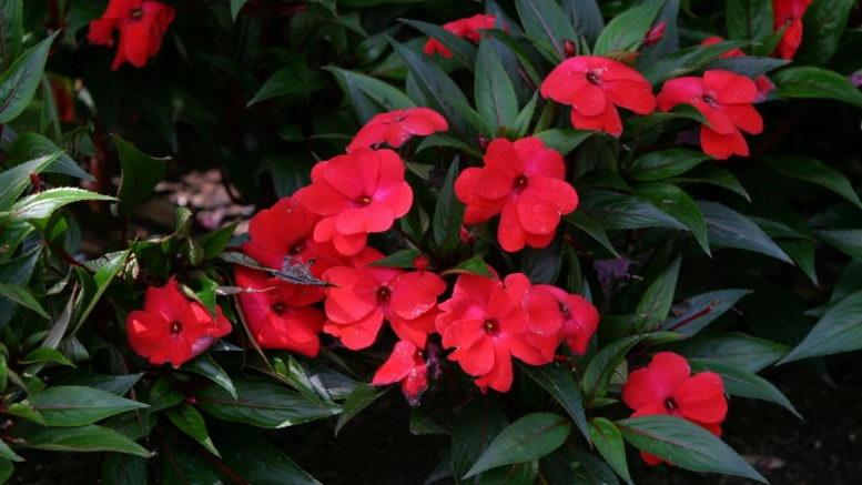 Огонек цветок уход в домашних условиях 29