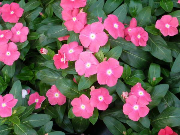 Цветы барвинок посадка и уход фото клумбы
