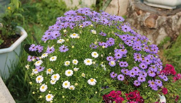 Цветы брахикома иберисолистная фото в саду