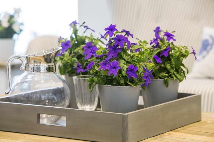 Цветы броваллия красивая Броваллия комнатное растение и садовый цветок фото