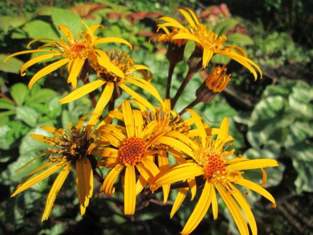 Цветы бузульник Осирис кафе нуар выращивание и уход фото
