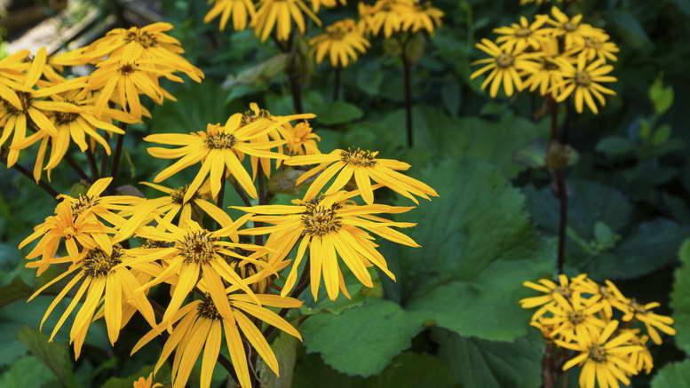 Цветы бузульник виды и сорта с описанием и фото