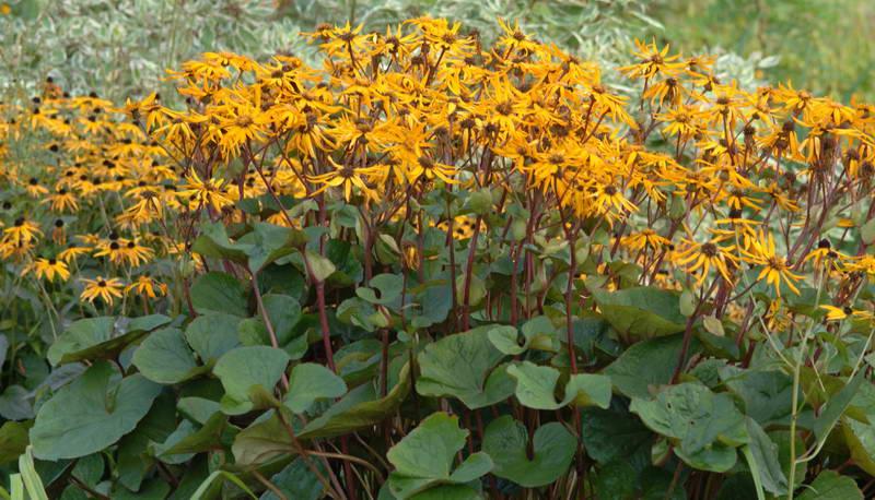 Цветы бузульник зубчатый дездемона ligularia dentata Desdemona посадка и уход фото в саду