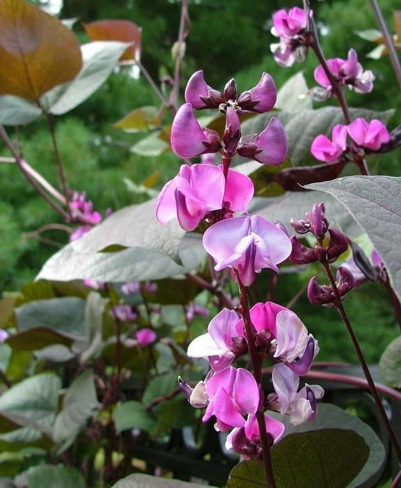 Цветы долихос посадка и уход в открытом грунте
