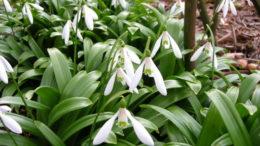 Цветы галантус посадка и уход в открытом грунте Виды с фото и описаниями