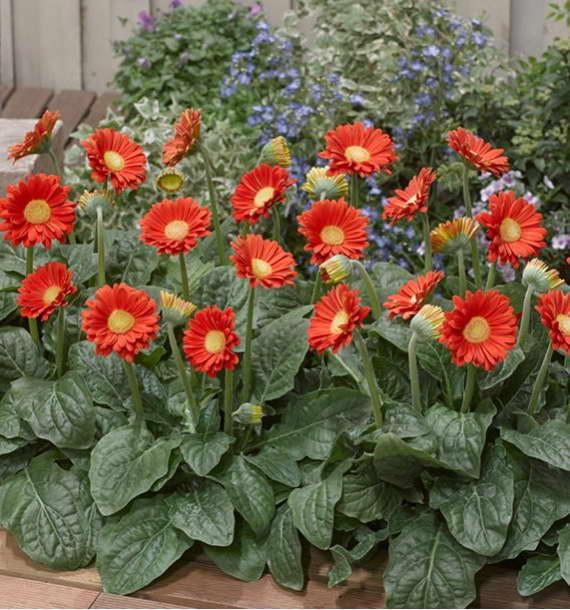 Цветы герберы садовые фото на клумбе