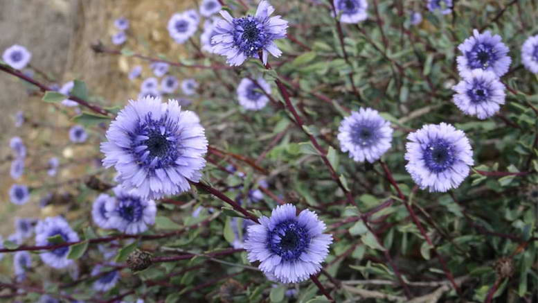 Цветы глобулярия на участке Выращивание посадка размножение и уход фото
