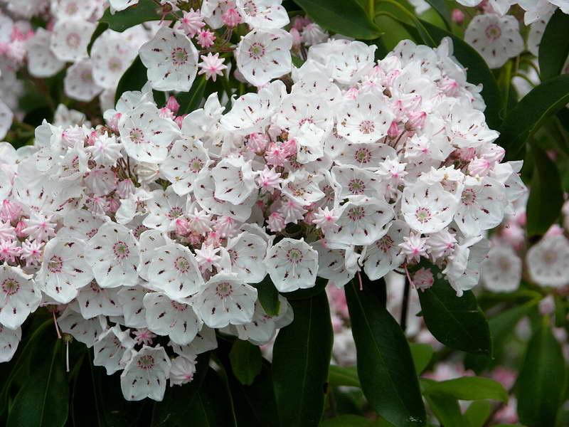 Цветы кальмия Растение кальмия Кустарник кальмия фото