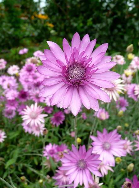 Цветы ксерантемум посадка и уход фото в саду