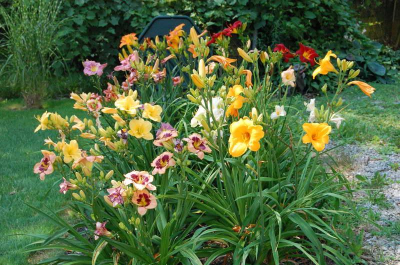 Цветы лилейники в саду фото