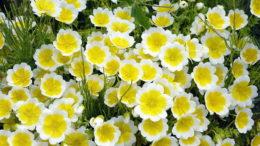 Цветы лимнантес посадка и уход в открытом грунте