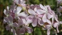 Цветы мыльнянка посадка и уход фото цветов