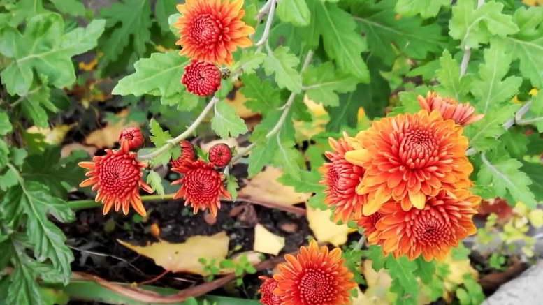 Цветы осеннего цветника с фото и названиями