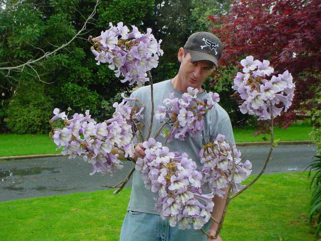 Цветы павловнии удлиненной фото
