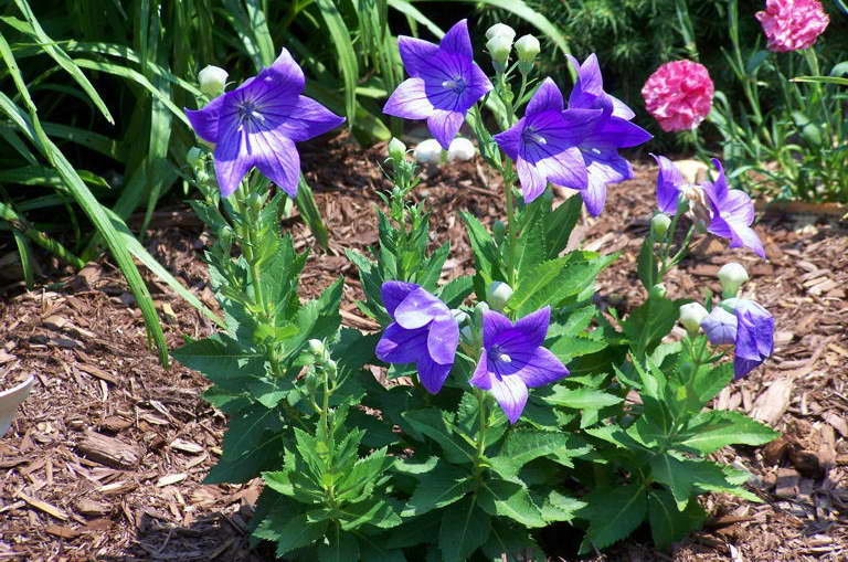 Цветы платикодон посадка и уход фото в открытом грунте