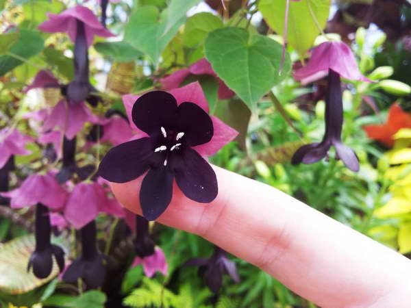 Цветы родохитона фото