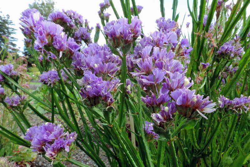 Цветы статица посадка и уход фото в саду
