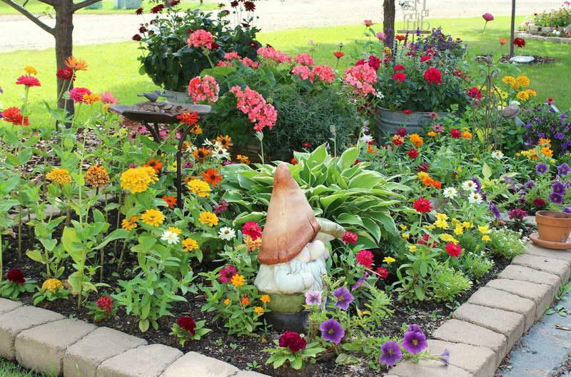 Цветы цинния посадка Циннии на клумбе фото