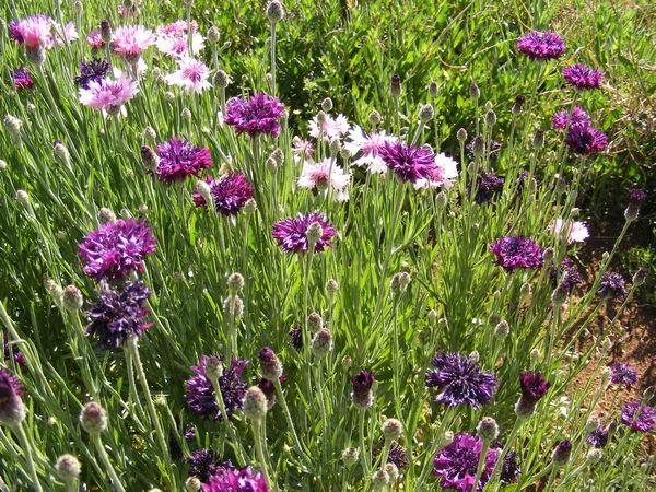 Цветы васильки садовые на фото