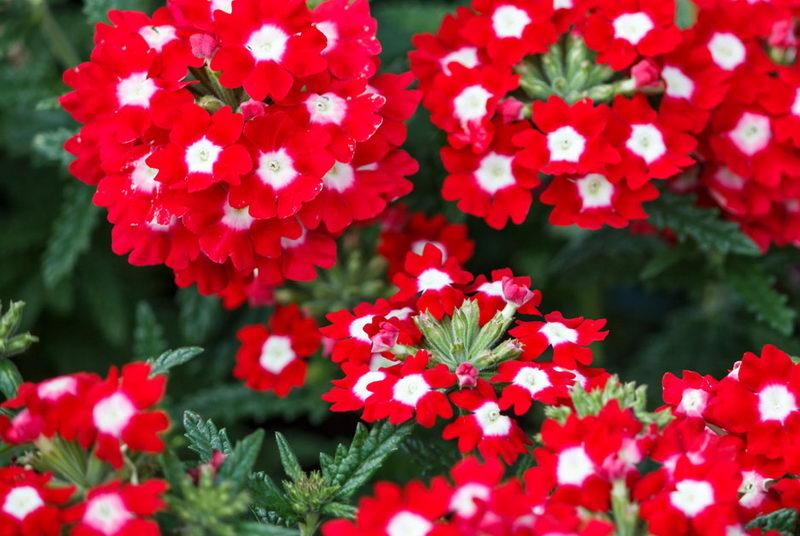 Цветы вербена посадка и уход фото когда сеять на рассаду