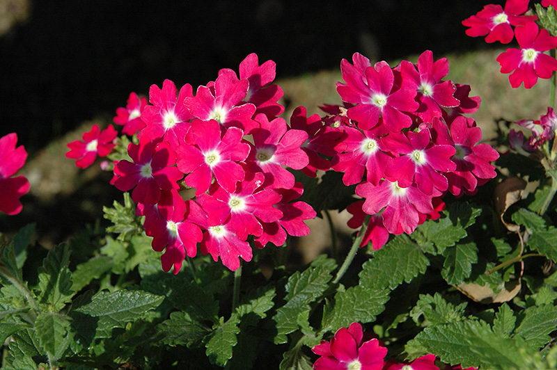 Цветы вербена посадка и уход фото сорт Verbena Lanai Upright Rose with Eye
