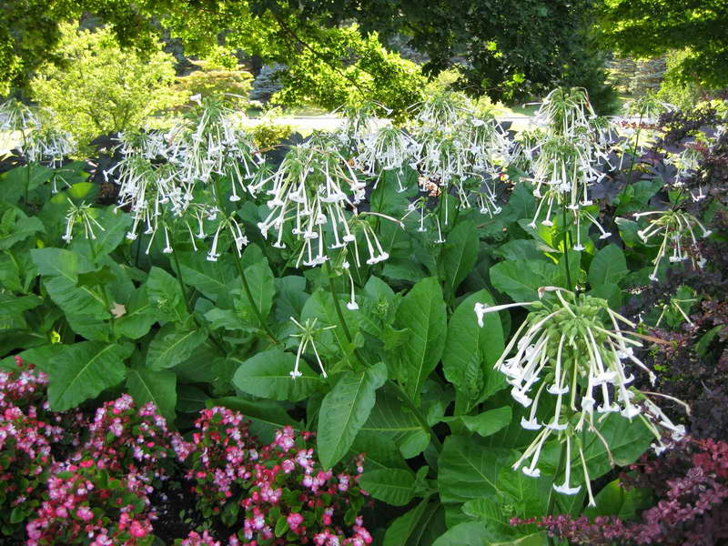 Табак лесной Nicotiana sylvestris фото