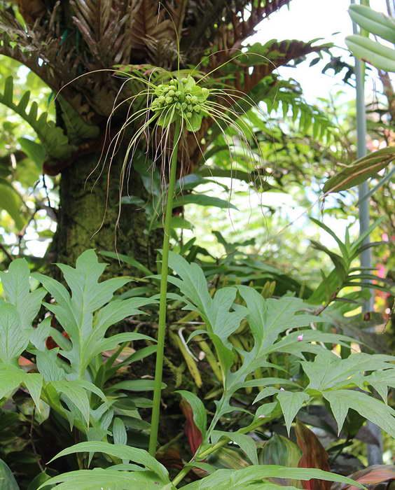 Такка перистонадрезанная или леонтолепестковидная (Tacca leontopetaloides), она же Такка пиннатифида (Tacca pinnatifida) фото