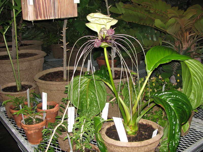 Такка цельнолистная Tacca integrifolia или белоснежная Tacca nivea фото