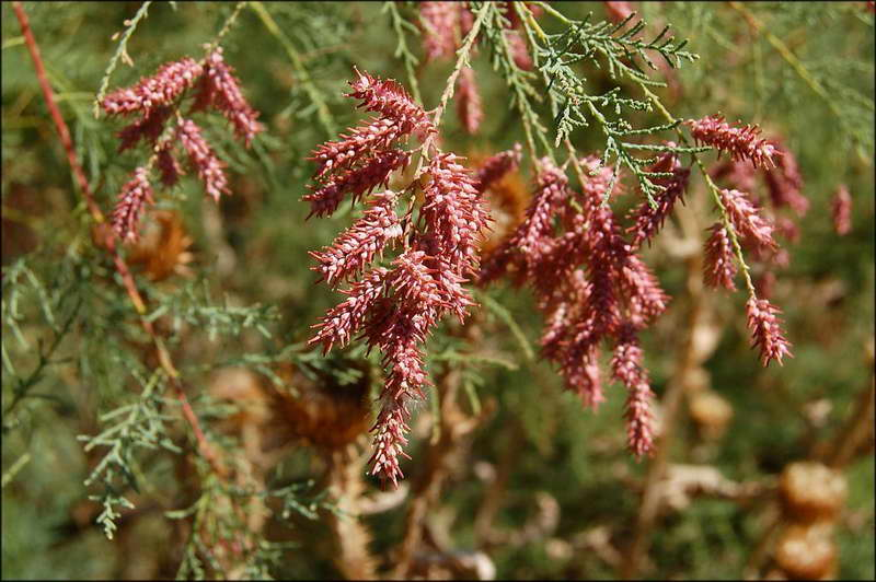 Тамарикс двудомный Tamarix dioica фото