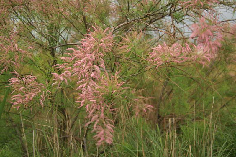 Тамарикс изящный Tamarix gracilis Willd фото