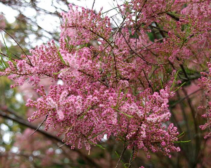 Тамарикс мелкоцветковый Tamarix parviflora фото