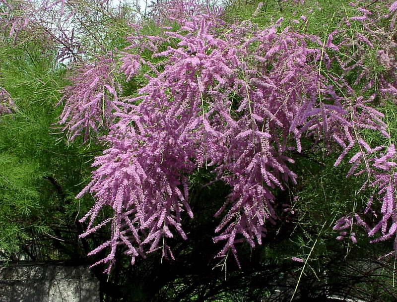Тамарикс ветвистый Tamarix ramosissima