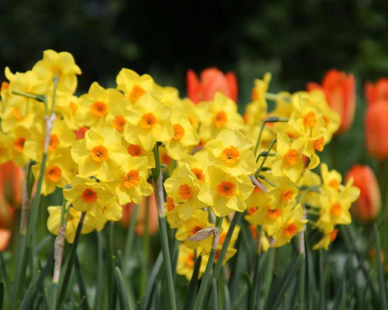 Тацетный нарцисс сорт Narcissus Scarlet Gem фото
