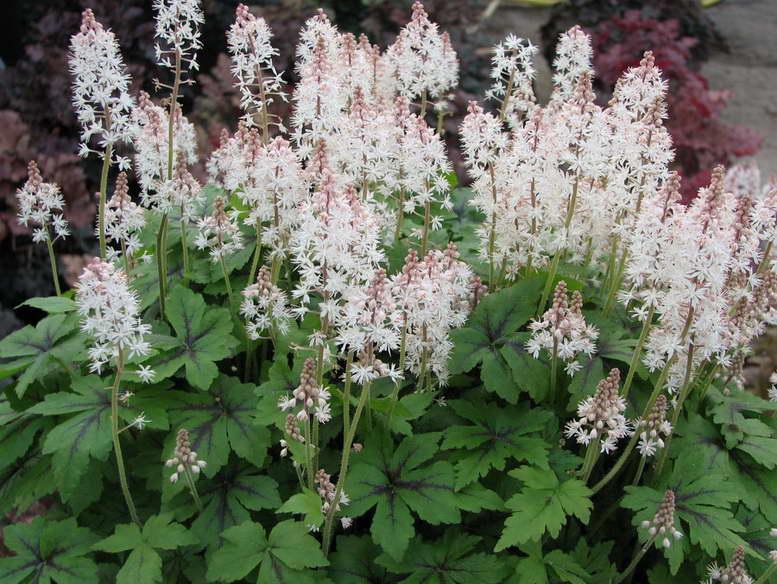 Теневыносливые растения для сада фото и названия цветов
