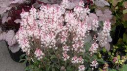 Тиарелла сорта и виды фото с названием Tiarella cordifolia 'Sherry Kitto'
