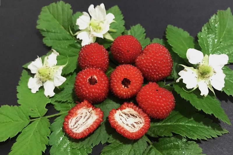 Тибетская малина Мяо Мяо вкус и полезные свойства фото ягод