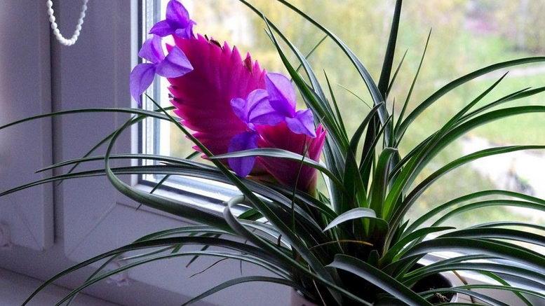 Тилландсия анита цветение в домашних условиях Как ухаживать