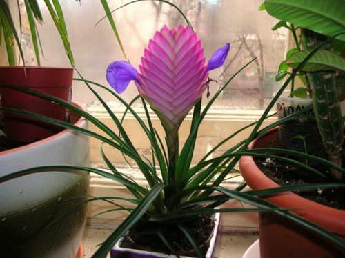 Тилландсия анита уход в домашних условиях цветение фото