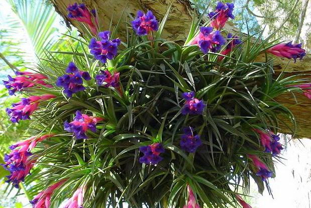 Тилландсия цветок